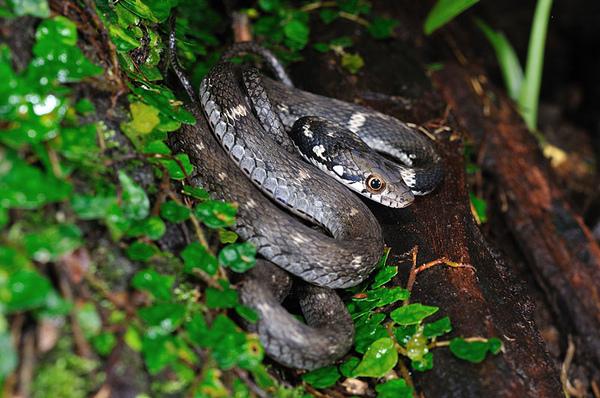 沖繩腹鏈蛇幼蛇