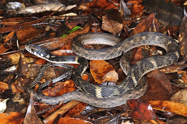沖繩腹鏈蛇(Amphiesma pryeri)