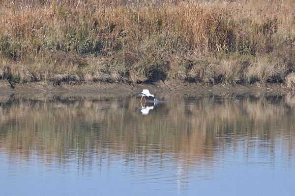 東方白鸛以及其他水鳥
