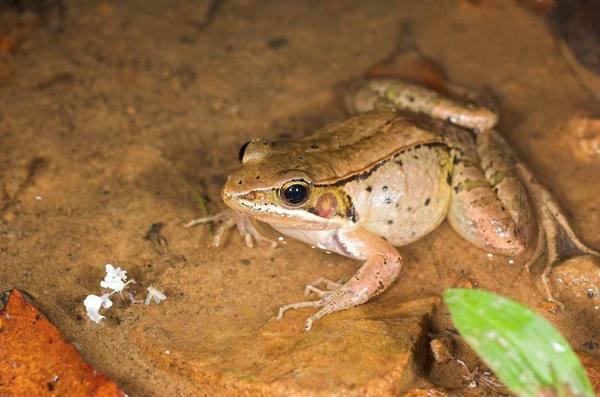 腹斑蛙(Rana adenopleura)