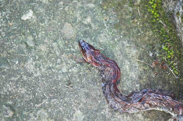 斜鱗蛇(Pseudoxendon stejnegeri stejnegeri)