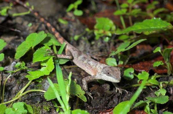 短肢攀蜥(Japalura brevipes)