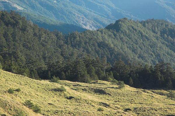 草原邊緣的針葉林