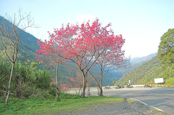 下山途中盛開的櫻花樹
