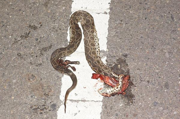 被車輾過大約兩小時的鎖鏈蛇(Daboia russellii siamensis)屍體