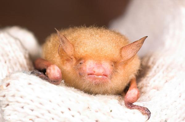 金黃鼠耳蝠