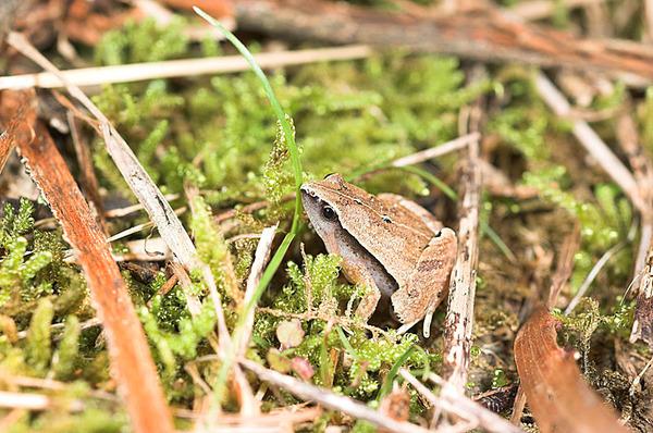黑蒙西氏小雨蛙(Microhyla heymonsi)