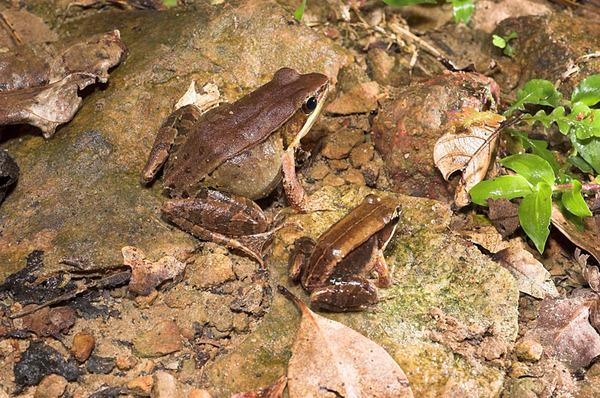 腹斑蛙(Rana adenopleura)和豎琴蛙