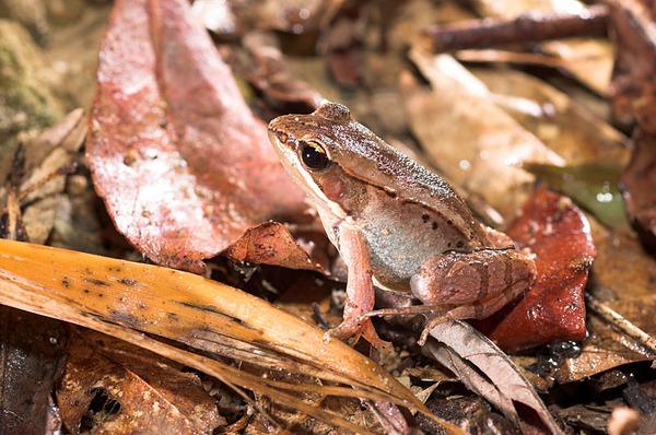 仔細看這隻雌蛙...