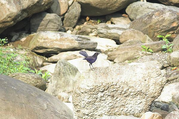 翹著尾巴的紫嘯鶇