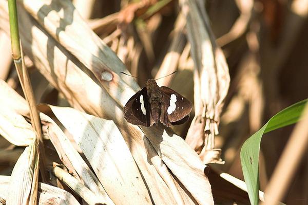 同一隻黑弄蝶