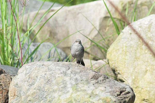 鉛色水鶇雌鳥