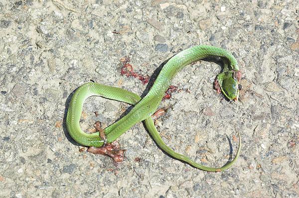 被壓死的青蛇(Cyclophiops major)