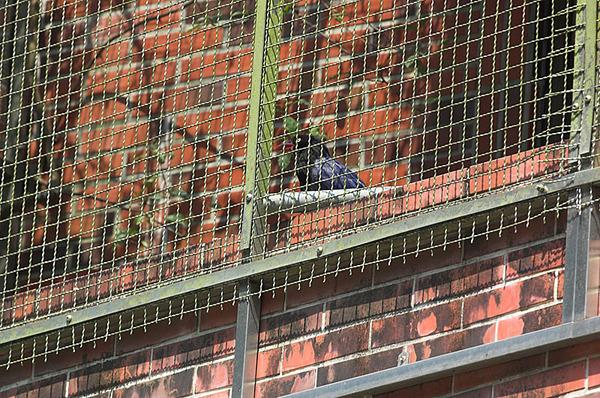 籠子裡的台灣藍鵲