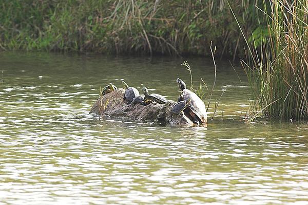 一群在曬太陽的烏龜