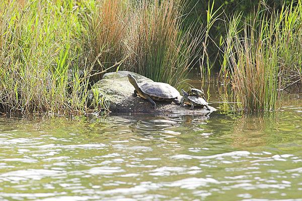 也是曬太陽的烏龜