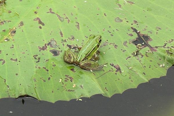 金線蛙(Rana plancyi)的幼蛙