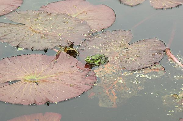 在植物園的金線蛙