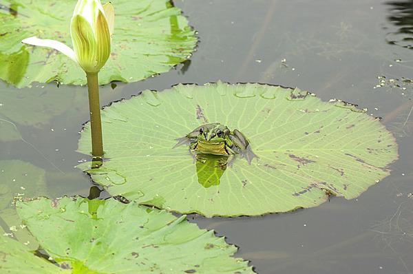 荷葉上的金線蛙