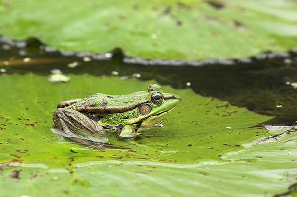荷葉上的金線蛙(300mm)