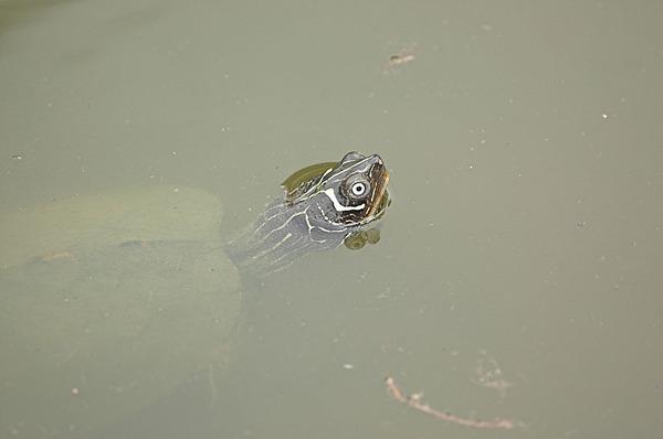 密西西比地圖龜(Graptemys kuhnii)