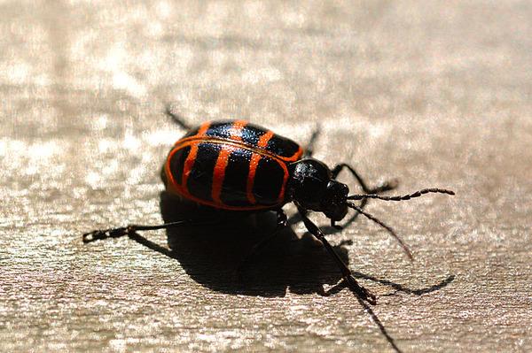 某種小甲蟲