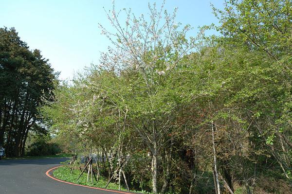 入口附近的櫻花樹