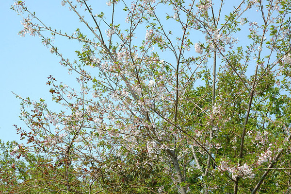 櫻花樹應該是我最喜歡的樹了
