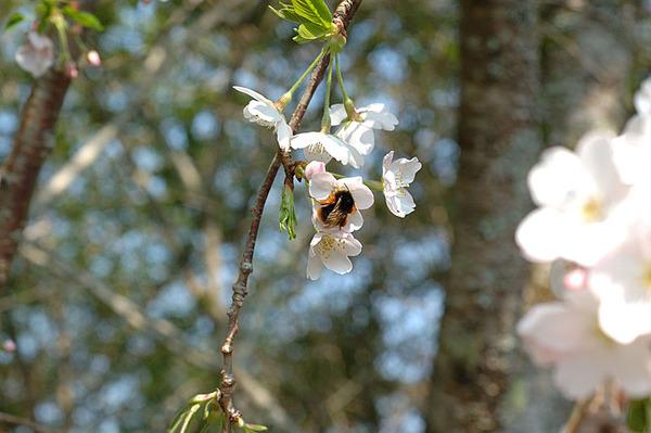 小蜜蜂也愛櫻花