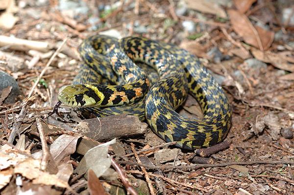 台灣赤煉蛇(Rhabdophis tigrinus formosanus)
