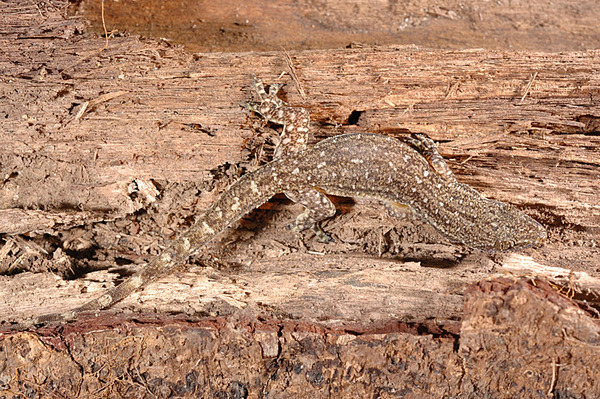 史丹吉氏蝎虎(Hemidactylus stejnegeri)
