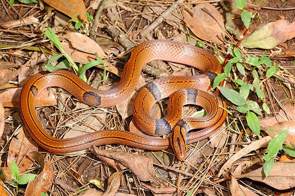另一條紅竹蛇