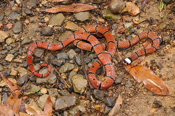 另一條環紋赤蛇