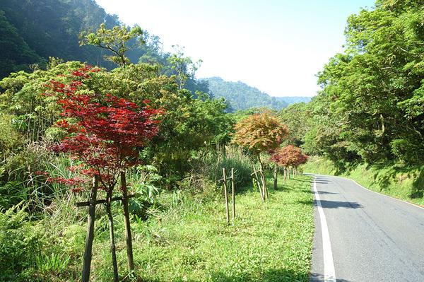 路邊的紅葉