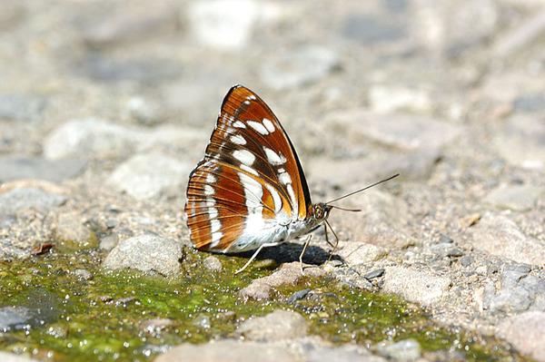 平山三線蝶