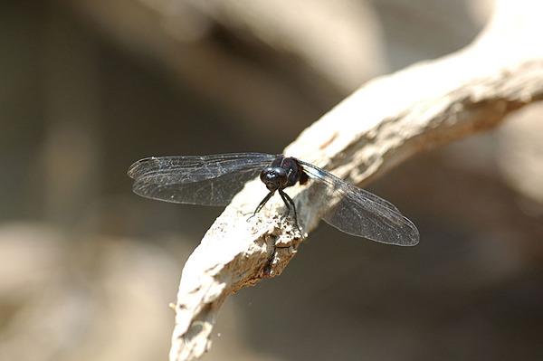 鼎脈蜻蜓雄蟲