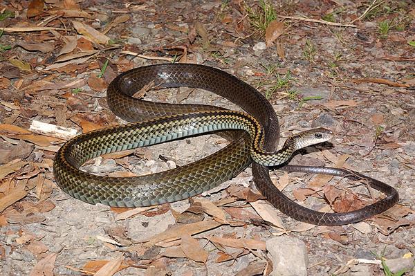 速度非常快的日行性蛇類