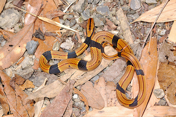 紅竹蛇的幼蛇