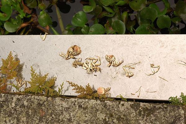 大閘蟹的殘骸