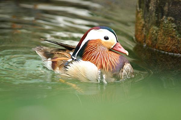 游水中的鴛鴦