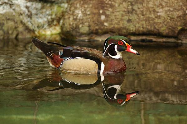 游水中的美洲木鴨