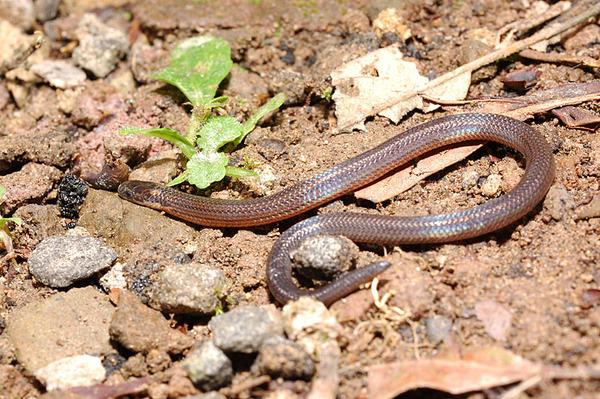 鐵線蛇(Calamaria pavimentata)的幼蛇