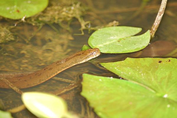 唐水蛇(Enhydris chinensis)
