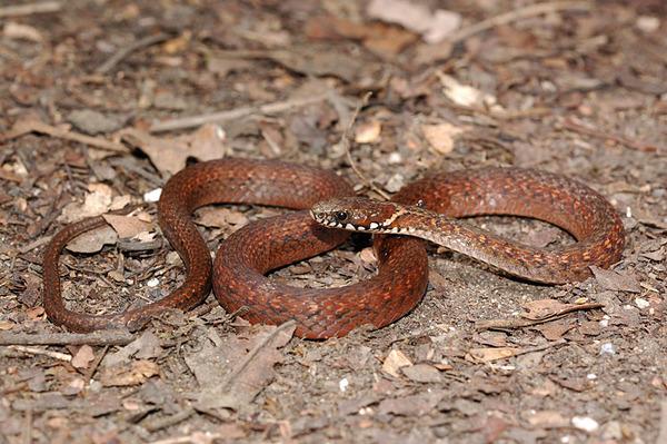 梭德氏游蛇(Amphiesma sauteri sauteri)