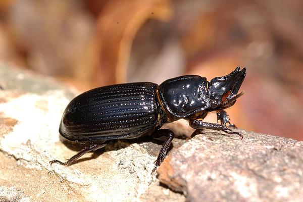 三叉黑艷蟲