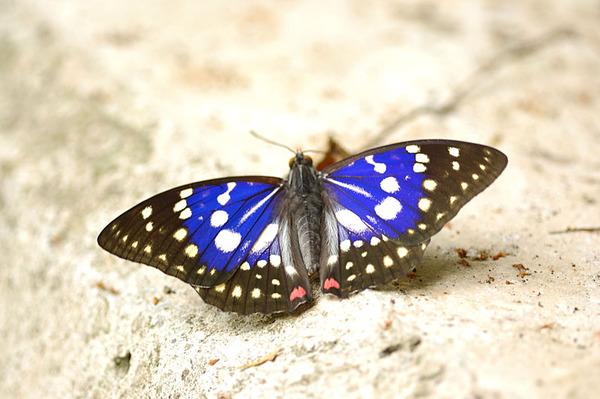 大紫蛺蝶展翅