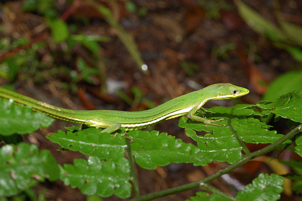 梭德氏草蜥(Takydromus sauteri)