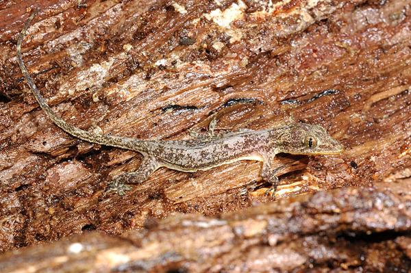 有點奇怪的史丹吉氏蝎虎(Hemidactylus stejnegeri)
