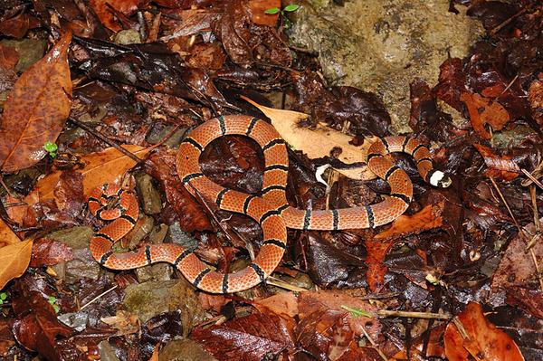 環紋赤蛇(Hemibungarus macclellandi)