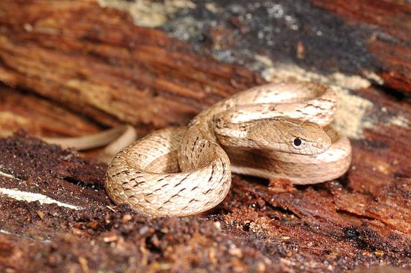 茶斑蛇(Psammodynastes pulverulentus)